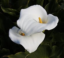Unblemished Calla Lilies by AnnDixon