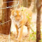 Save Tiger, They are on Verge of Extinction by Vipul Shah