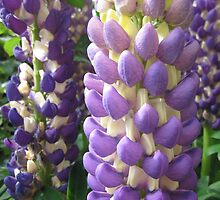 Purple lupin by Carolyn M Holmes
