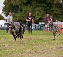 Racing Lurchers by k9photographer