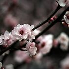 Flowers of Spring by Hanyes