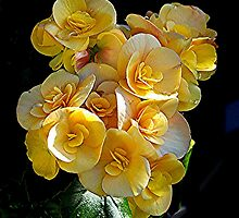 Double Begonia at it's best........! by Roy  Massicks