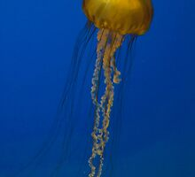 Sea Nettle Jellyfish by OrPhotoJohn