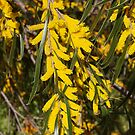 Wattle (2) by kalaryder