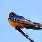 Barn Swallow by John Absher