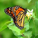 Sweet Spring Monarch by lorilee