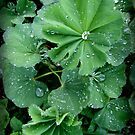 Lady's Mantle in Connecticut by Debbie Robbins