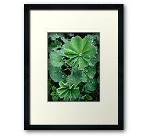 Lady's Mantle in Connecticut Framed Print