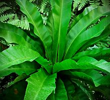 Birds Nest Fern - Asplenium nidus by MotherNature