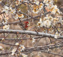 Male House Finch Eating Plum Blossoms by Diana Graves Photography