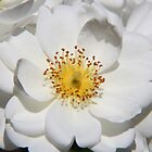 White Rose by William Goschnick
