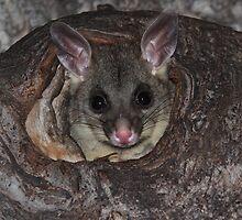 Possum Baby by Emma Holmes