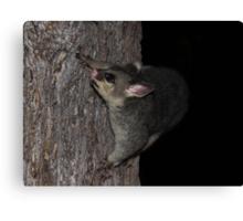 Possum Tree Play Canvas Print