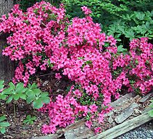 Pink Azaleas by Cora Wandel