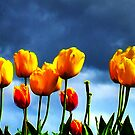 tulips by clayton  jordan