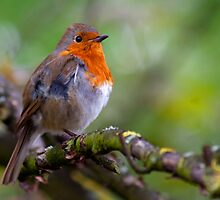Red chested Robin by Neil Clarke