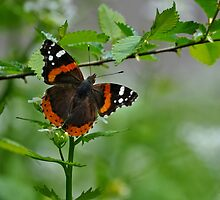 Red Admiral Butterfly by Elaine  Manley
