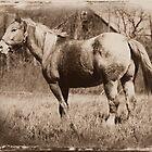 Cowboy, Appaloosa Gelding by ctgponies