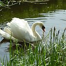 Moorland Swan by Meladana