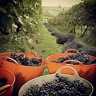 Grape picking at Traralgon Vineyards by Nupur Nag