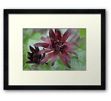 Spice Bush - Leonard J. Buck Gardens Framed Print