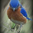 Bluebird by smalletphotos