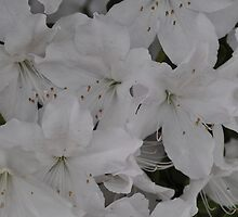 White Azalea by CreatorsBeauty