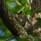 Fox Squirrel by Kathy Baccari