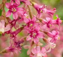 Pink-flowering currant by Celeste Mookherjee
