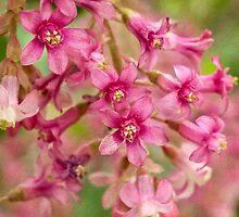 Pink-flowering currant by Celeste Mookherjee