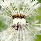 Macro photography Dandelion by Falko Follert