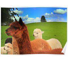 English Llama's, very rare breed !!. Poster