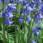 Ladybird in Blubells by StephenRB