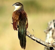 THE WHITE-BROWED COUCAL - Centropus superciliosus  (Witbrouvleiloerie) by Magaret Meintjes