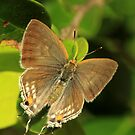 Purple-Brown Hairstreak - late afternoon light, (St Lucia, South Africa) by Michael Field
