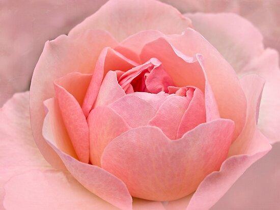 Pâquerette - a historic rose by Celeste Mookherjee