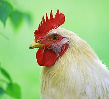 Cock by Aviana