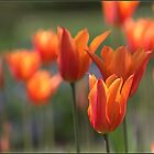 Orange Tulips by ReidOriginals