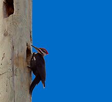Pileated Wood Pecker by Richard Lee