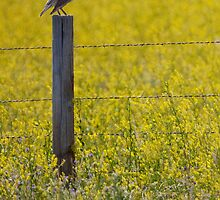Meadowlark Singing by Randall Nyhof