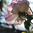 Rosa 'Seduction' by Julie Sherlock