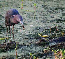 Blue Heron Feasting by Diego  Re