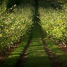 Apple Orchard, Lenswood. by Ben Loveday