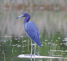 Little Blue Heron by Larry Baker