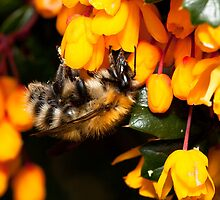 Bee on Orange by RedMann