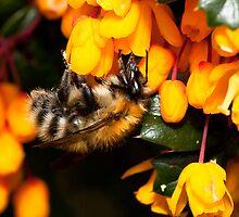 Bee on Orange by RedMann