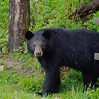 Little Wet Black Bear by Molly  Kinsey