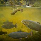 Stream Brown Trout Feeding by Randall Nyhof