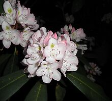 rhododendron Pink Flower by ack1128