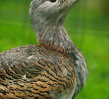 The Great Bustard, largest flying bird in the world by miradorpictures